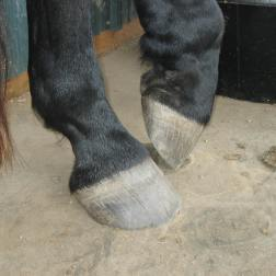 Hooves with growth rings