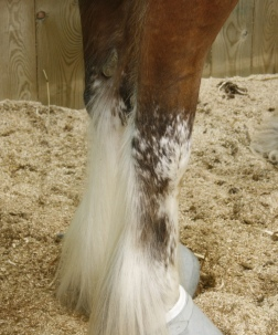 sabino Clydesdale feathers detail