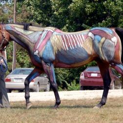 Visible Horse musculature