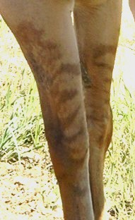 Leg striping