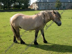 Horse with mane dreadlocks