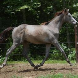 Bay going grey (yearling)