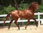 deep red chestnut with darker mane and tail