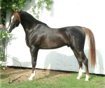 liver chestnut with medium mane and tail