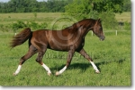 brown liver chestnut with dark mane and tail, high whites