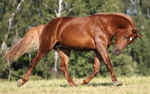 deep red chestnut with lighter mane and tail