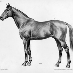 Horse anatomy by Herman Dittrich - body