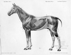 Horse anatomy by Herman Dittrich - full body musculature