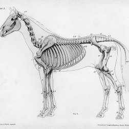 Horse anatomy by Herman Dittrich - full body skeleton