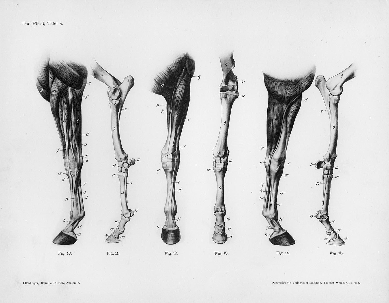 Similiar Horse Leg Muscles Keywords