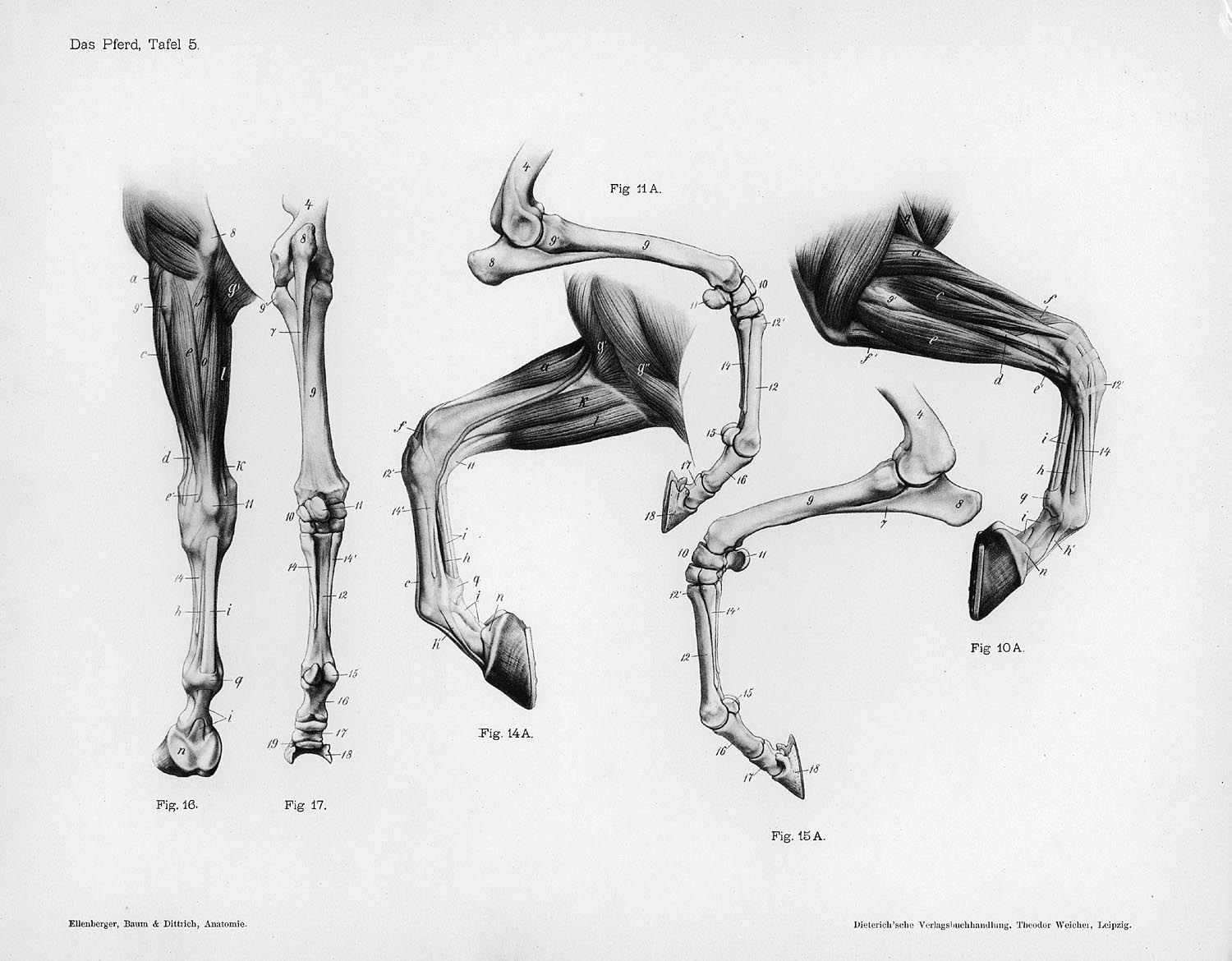 Horse Anatomy By Herman Dittrich Front Legs Shoestring Stable