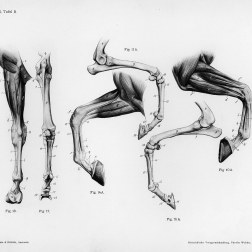Horse anatomy by Herman Dittrich – front legs