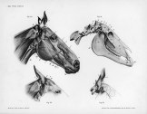 Horse anatomy by Herman Dittrich – head and ears