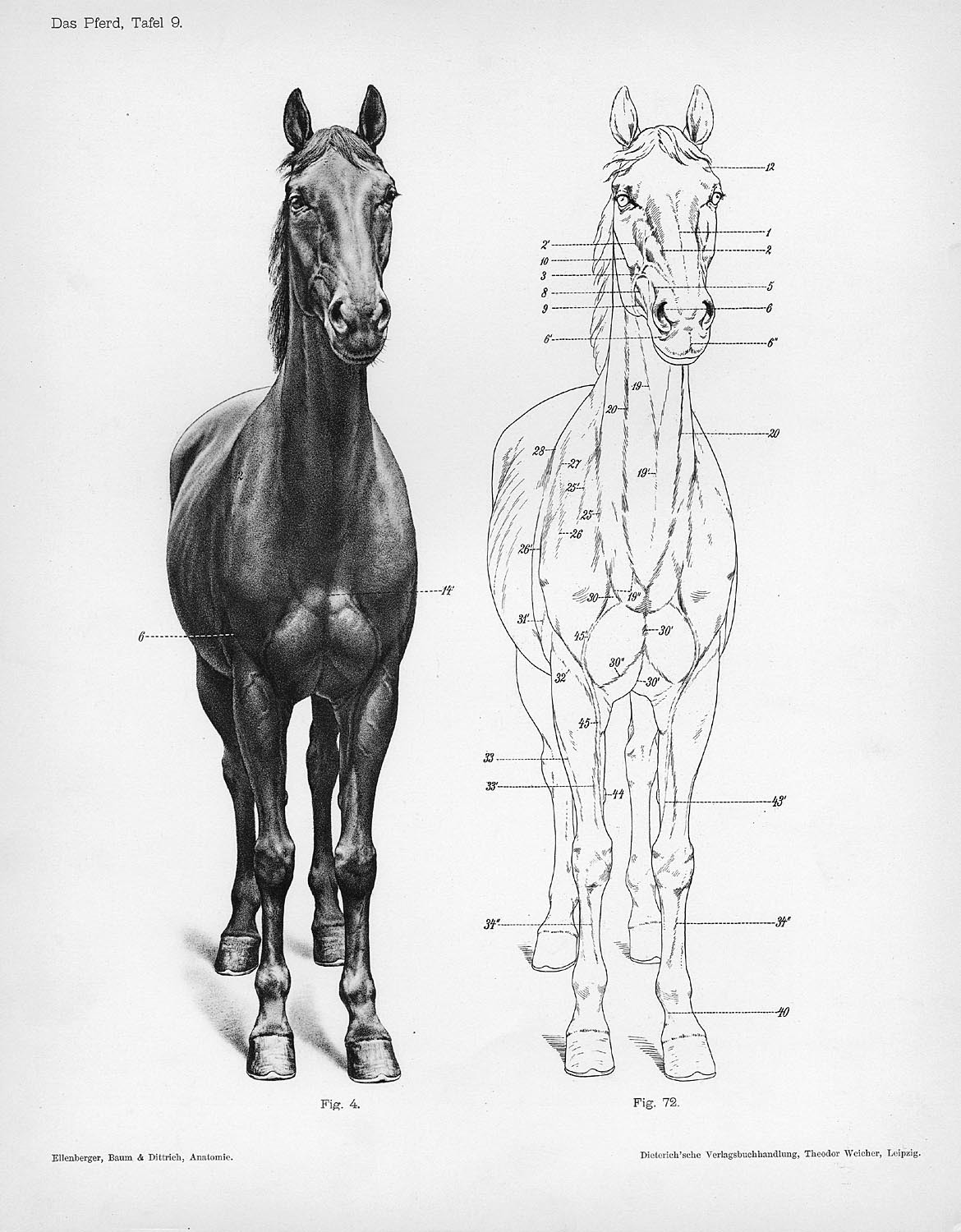 Horse anatomy by Herman Dittrich – front view | Shoestring Stable