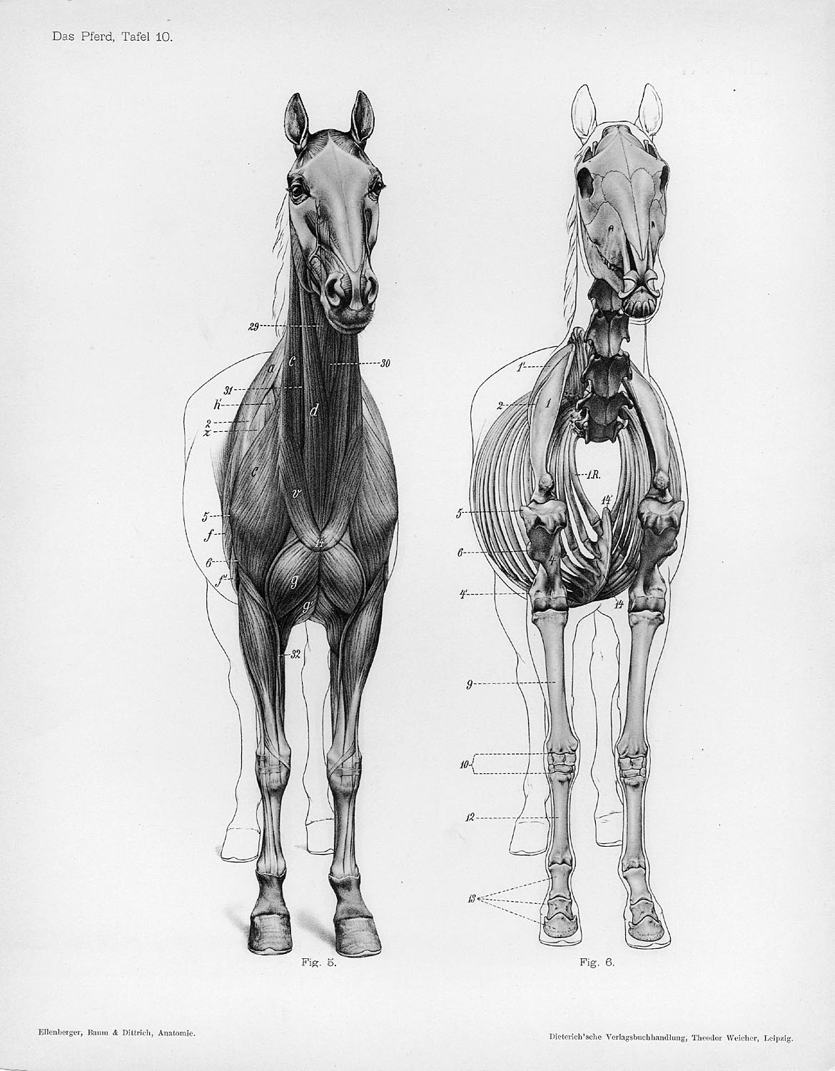 Horse Anatomy By Herman Dittrich Front View Musculature And Bones Shoestring Stable