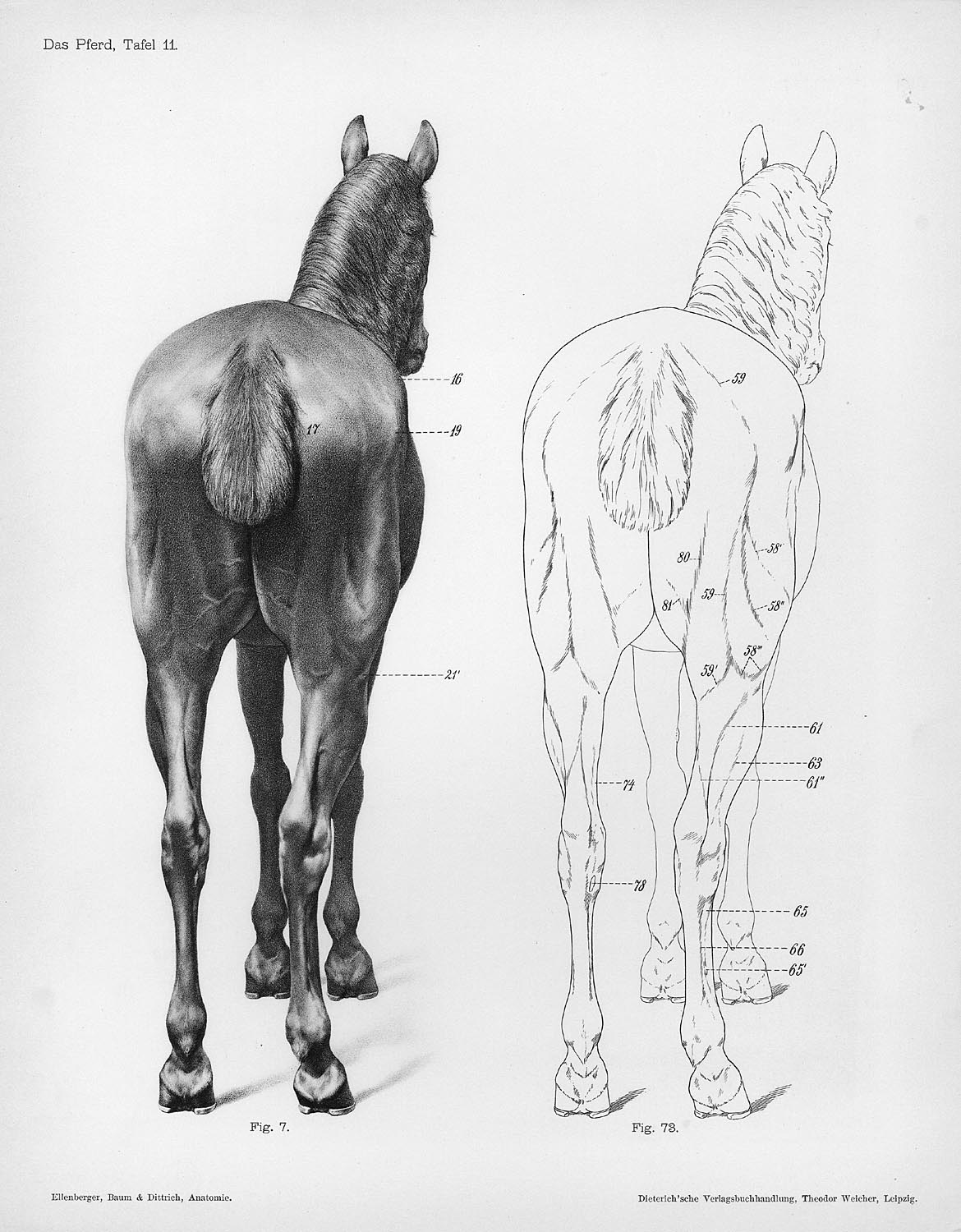 Horse anatomy by Herman Dittrich – rear | Shoestring Stable