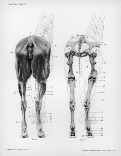 Horse anatomy by Herman Dittrich - rear musculature and bones