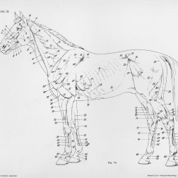 Horse anatomy by Herman Dittrich - full body