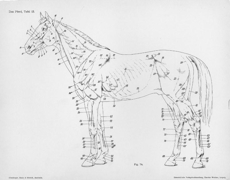 Horse Anatomy By Herman Dittrich Hind Legs: Horse Anatomy By Herman Dittrich – Full Body
