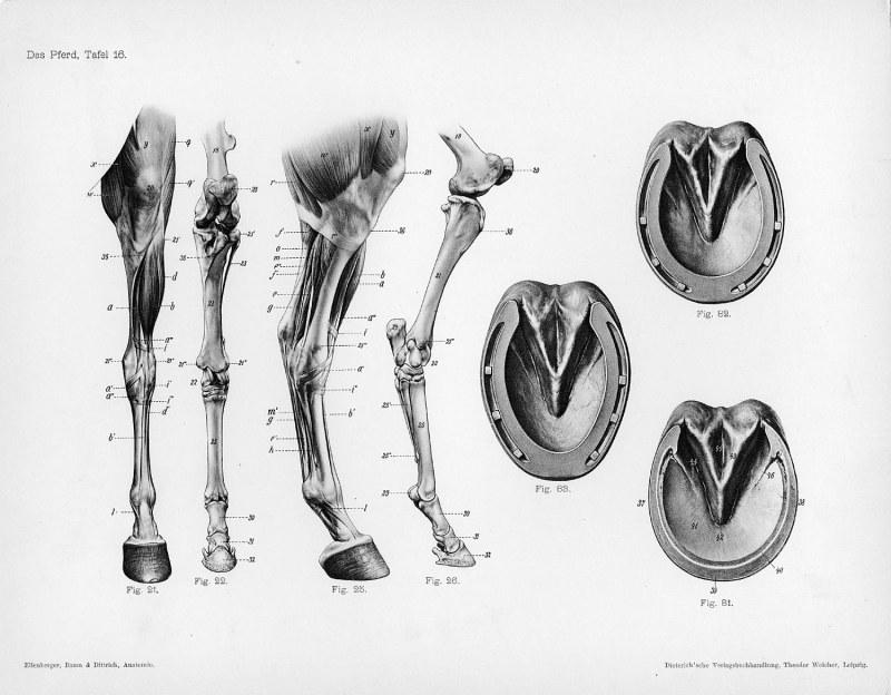 Horse Anatomy By Herman Dittrich Hind Legs And Hoof Shoestring