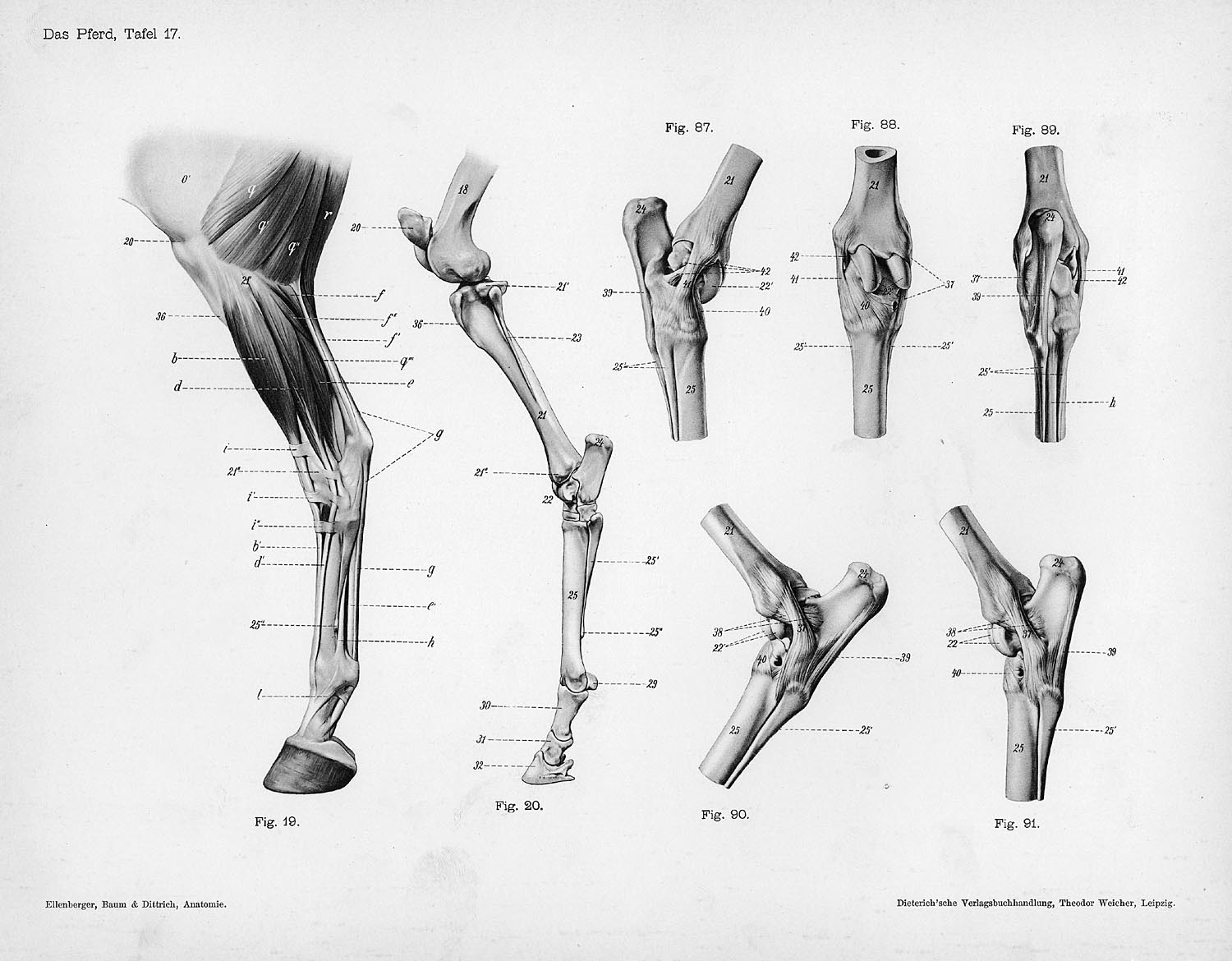 Horse anatomy by Herman Dittrich – hind legs | Shoestring Stable