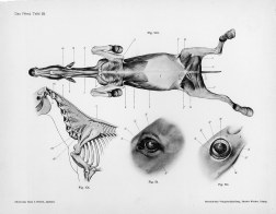 Horse anatomy by Herman Dittrich - underbelly musculature, neck bones, eyes