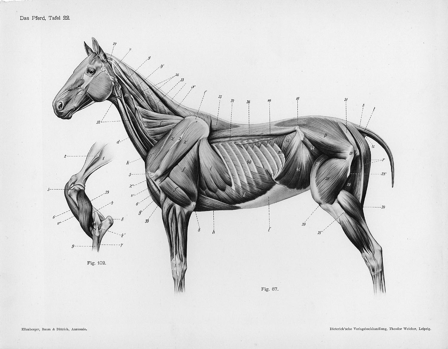 Horse anatomy by Herman Dittrich – full body musculature ...