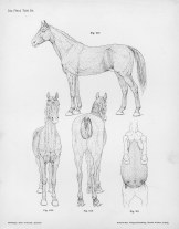 Horse anatomy by Herman Dittrich - hair growth
