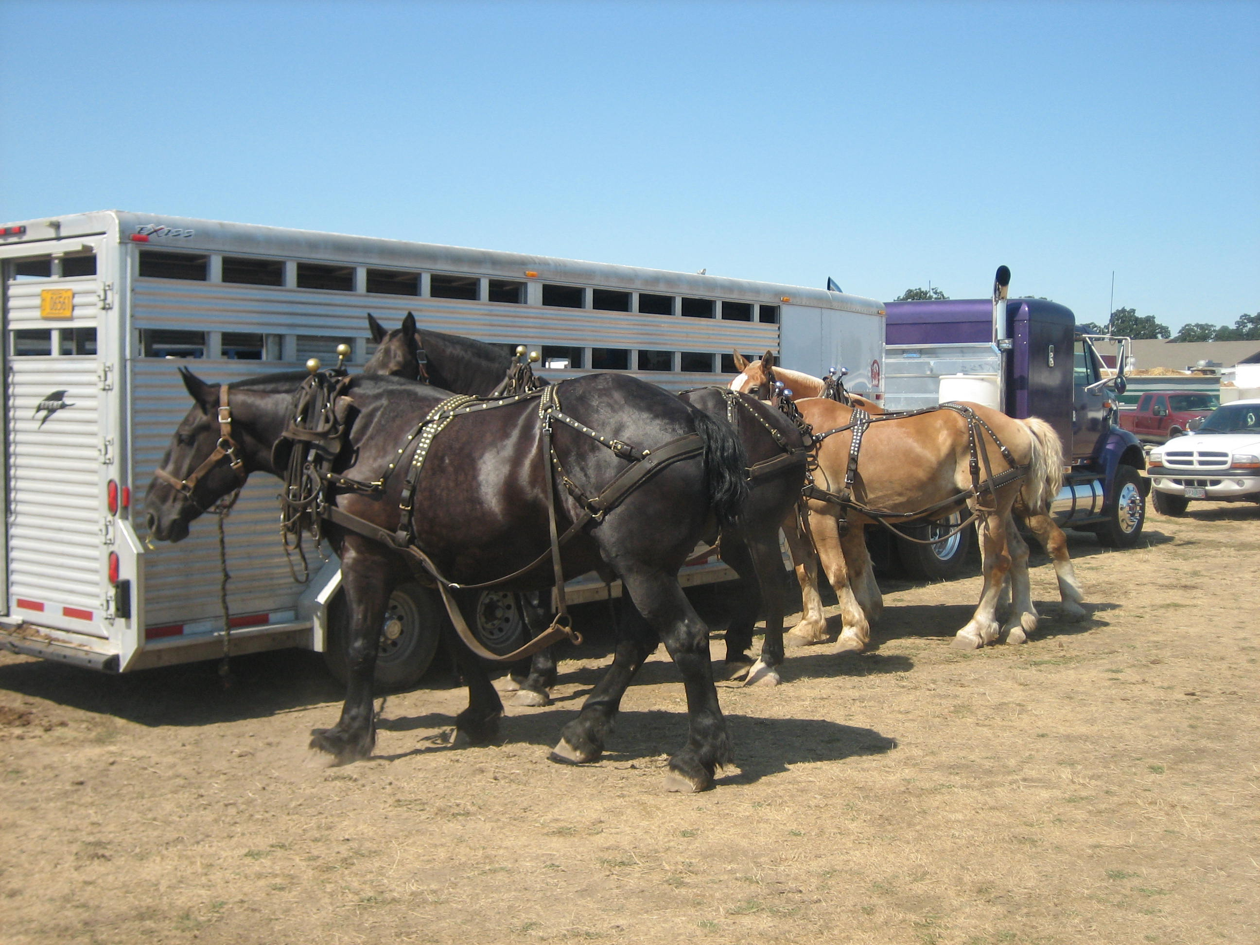 Oregon State Fair Draft Horse Drooling Shoestring Stable